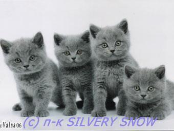 Британские котята. Британские кошки и ...