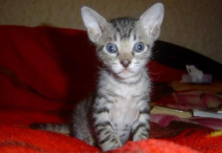 Кот.  Окрас голубой.  Дата рождения 12.11.09.  Мама Бриза Голд Эридон.
